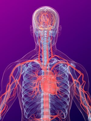 3dx rendered anatomy illustration of a human shape with highlighted heart and vascular system