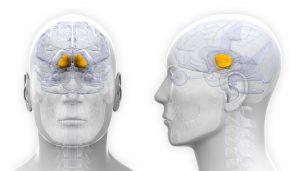 Male Basal Ganglia Brain Anatomy - isolated on white