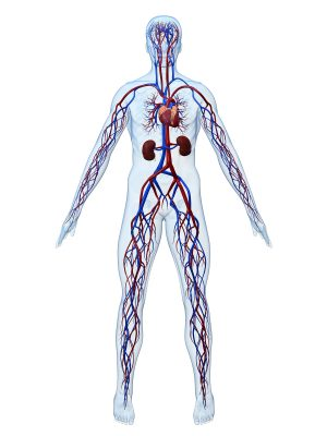 3d rendered anatomy illustration of the human cardiovascular system