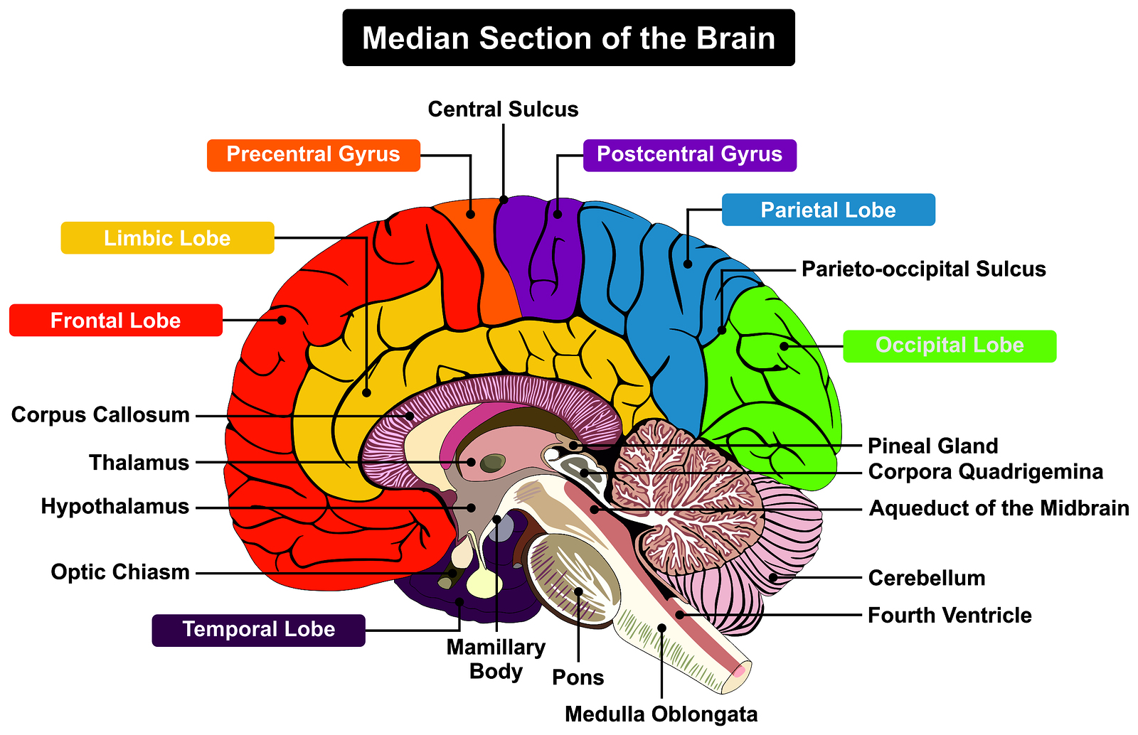 Cerebellum And Cognition In Multiple Sclerosis The Fall Status Matters Physiospot