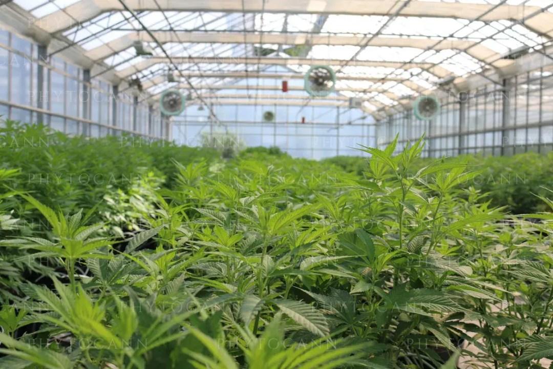 production cbd green-house