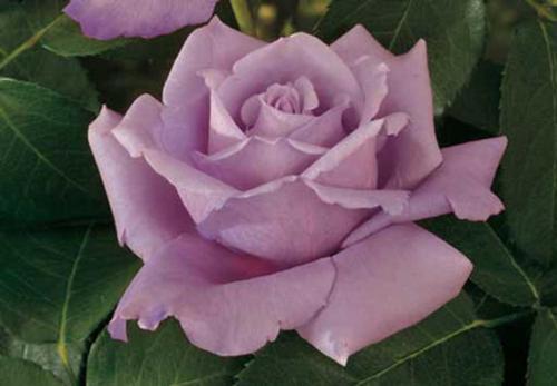 Роза - Растения– строение цветка, листа, виды растений ...