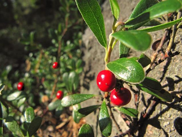 Busserole (Arctostaphylos uva-ursi) cousine de la canneberge