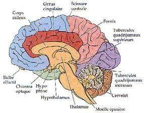 Le cerveau, ses parties et ses différentes fonctions.