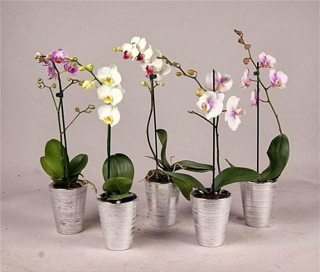 Preziosa e delicata l 39 orchidea for Concime per orchidee