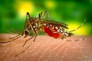 mosquito05-300x225