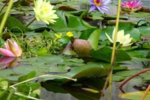 Piante galleggianti quali sono le pi facili da tenere in for Piante da stagno