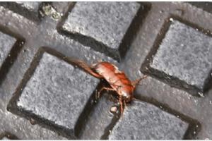 Le blatte sono tornate: come prevenire l'invasione ed eliminarle per evitare malattie