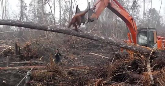 Il video sconfortante della lotta tra un orangutan e un escavatore che sta distruggendo il suo habitat