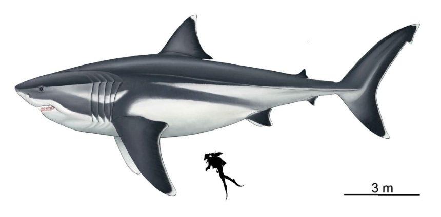 Illustrazione di megalodonte rispetto a un subacqueo umano. Credito: Jack A. Cooper et al.