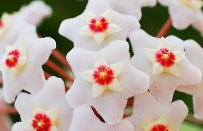 Le Hoya sono piante della famiglia delle Asclepiadaceae, come altre piante di questa famiglia hanno coloratissimi fiori a stella molto affascinanti e decorativi.  La tassonomia dei generi di Hoya è molto complicata e in costante aggiornamento, la gran maggioranza di specie di Hoya ad oggi conosciute è stata introdotta in coltivazione successivamente al 1990, e tutt'ora esistono numerosissime specie mai identificate tenute in collezione con nomi come Hoya sp., Hoya sp. seguito dal paese in cui è stata raccolta o Hoya sp. seguito da un numero assegnato dal singolo possessore della pianta. Inoltre molte zone da cui originano le Hoya sono ad oggi ancora inesplorate. Ed ancora, esistono diversi generi di piante strettamente legati al genere Hoya, come le Dischidia, Absolmsia, Micholitzia, Eriostemma, Centrostemma, e alcune piante ad oggi conosciute entrano ed escono da questi generi per essere associate o escluse dal genere Hoya. Ultimamente si sta cercando di fare chiarezza associando alla classificazione di Linneo la moderna tecnica di classificazione con DNA, il procedimento è costoso e quindi lento.  Appreso questo è impossibile stabilire con certezza per il momento quante specie appartengono al genere Hoya, quindi in base alle classificazioni di diversi studiosi e appassionati si va dalle 90 alle oltre 300 specie.