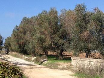 ulivi malati in contrada Mazzì, tra Alezio e Gallipoli