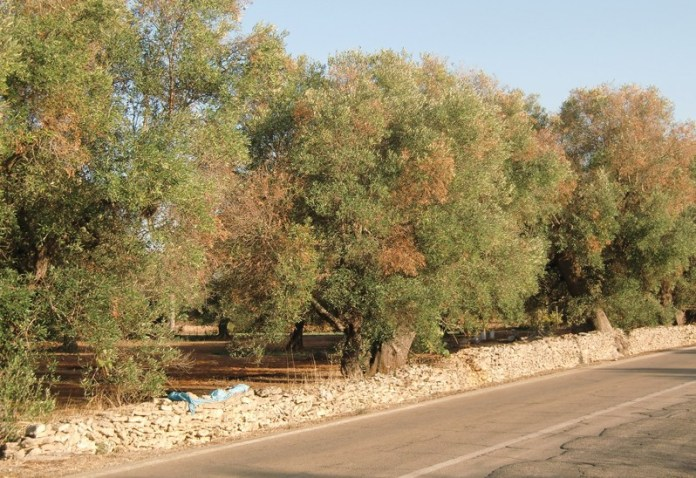 ulivi malati strada alezio-taviano (5)