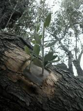 innesti voce dell'ulivo xylella (1)