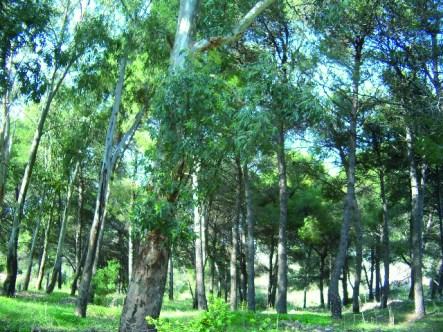 La pineta (1)