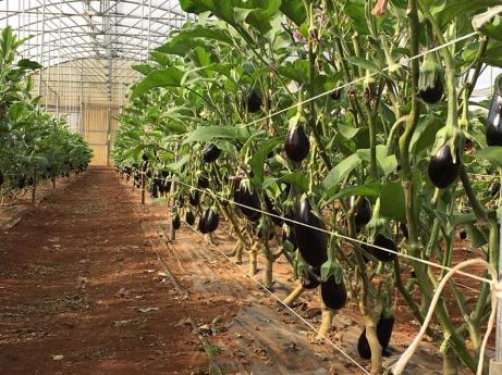 Le melanzane dell'azienda Natura Salentina