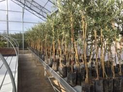 Le piantine di ulivo nella serra per la ricerca