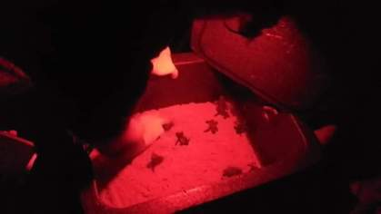 nascita tartarughe Pescoluse (Salve)