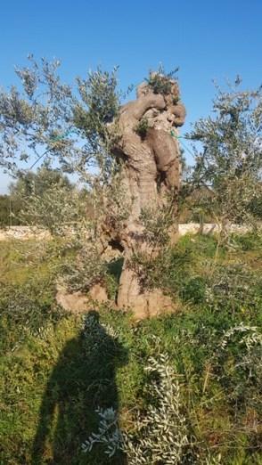 Patù ulivi innestati