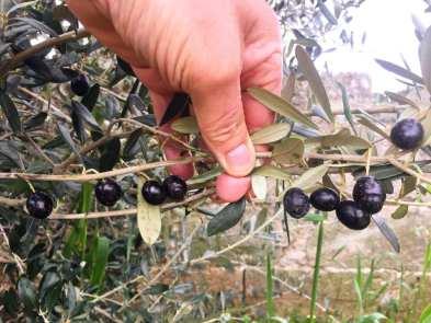 ulivi Giovanni Melcarne semenzale Gagliano