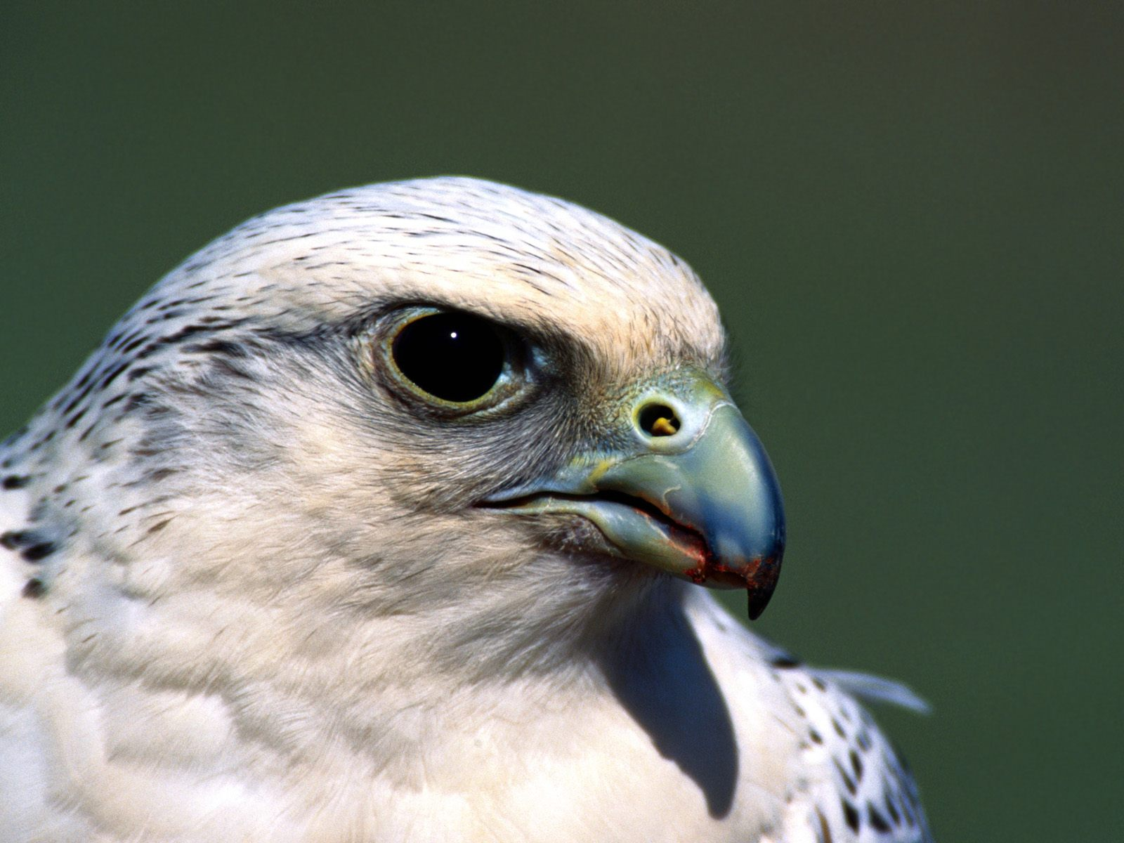 Falconiformes Wallpapers And Backgrounds