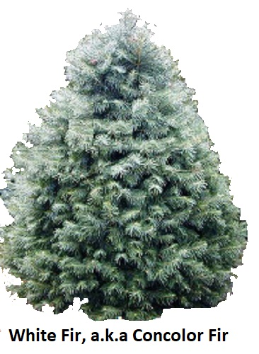 Christmas Tree Varieties Photos And Information To Choose The Best Tree