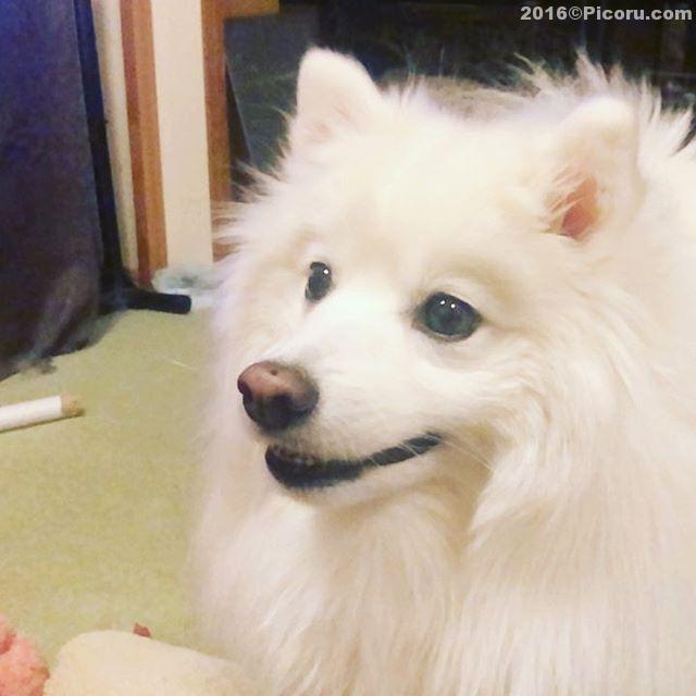ナイスキャッチ!また芸を覚えた^_^#日本スピッツ#日本犬#スピッツ#犬バカ#犬好きさんと繋がりたい #犬なしでは生きていけません会 #犬と暮らす #犬好きと繋がりたい