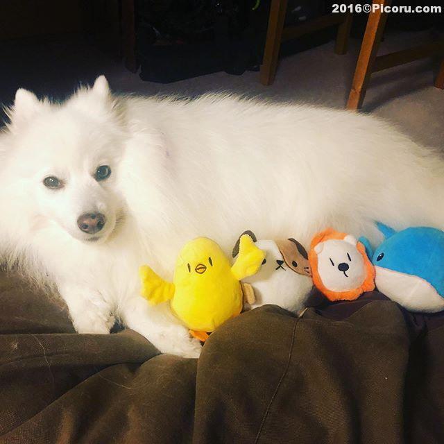 子育て中(妄想2)#オフ会撮影⠀#日本スピッツ⠀#日本犬⠀#スピッツ⠀#犬バカ⠀#犬好きさんと繋がりたい ⠀#犬なしでは生きていけません会 ⠀#犬と暮らす ⠀#犬好きと繋がりたい