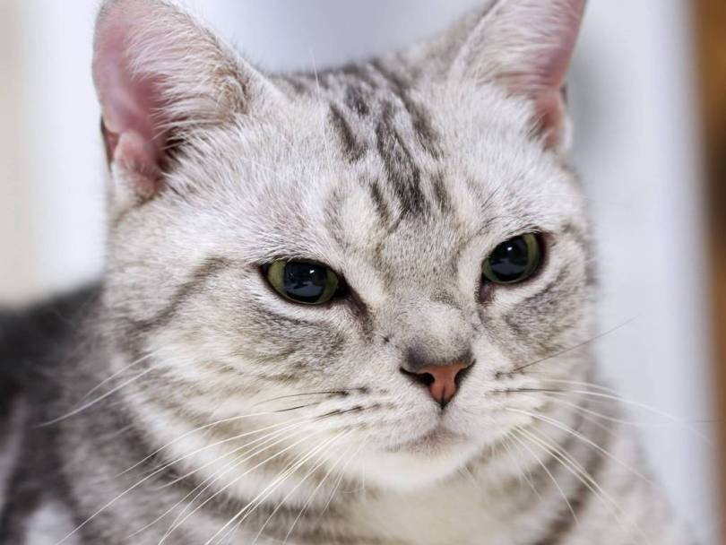 Very Beautifull American Shorthair Cat Face With black  Cute Eyes