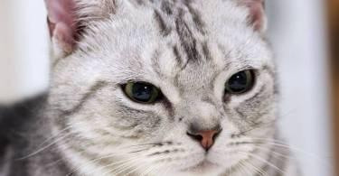 Very Beautifull American Shorthair Cat Face With black  Cute Eyes