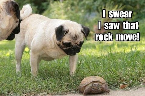 Pug Memes i swear i saw that rock