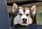 Alaskan Malamute Dog Seen From The Car Window