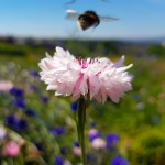 Supporting Pollinators with a Pictorial Meadow