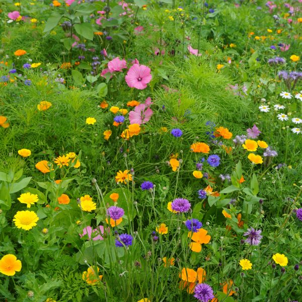Magic Dancer Meadow Seed Mix