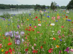 Pictorial Meadows at Trentham Gardens