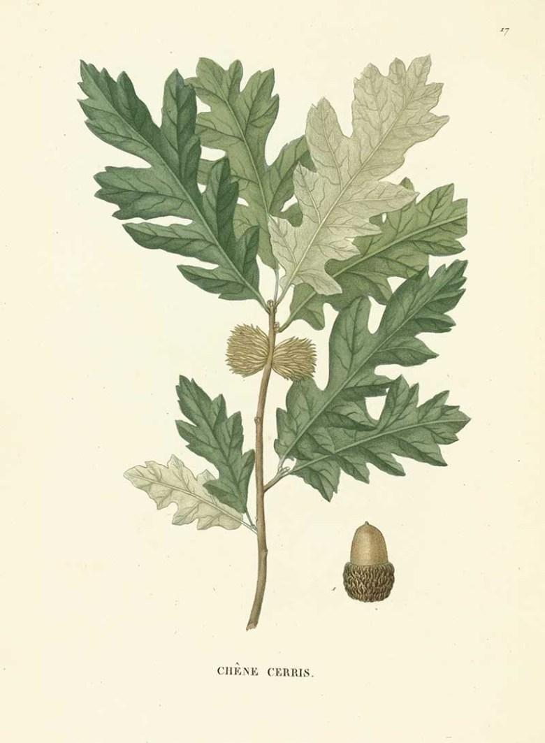 Austrian Oak Vintage Botanical Print