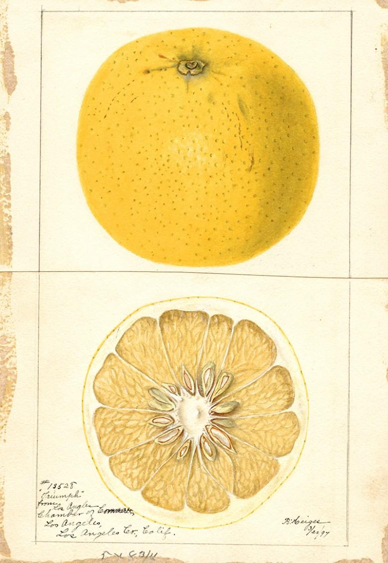 watercolor fruit painting grapefruit