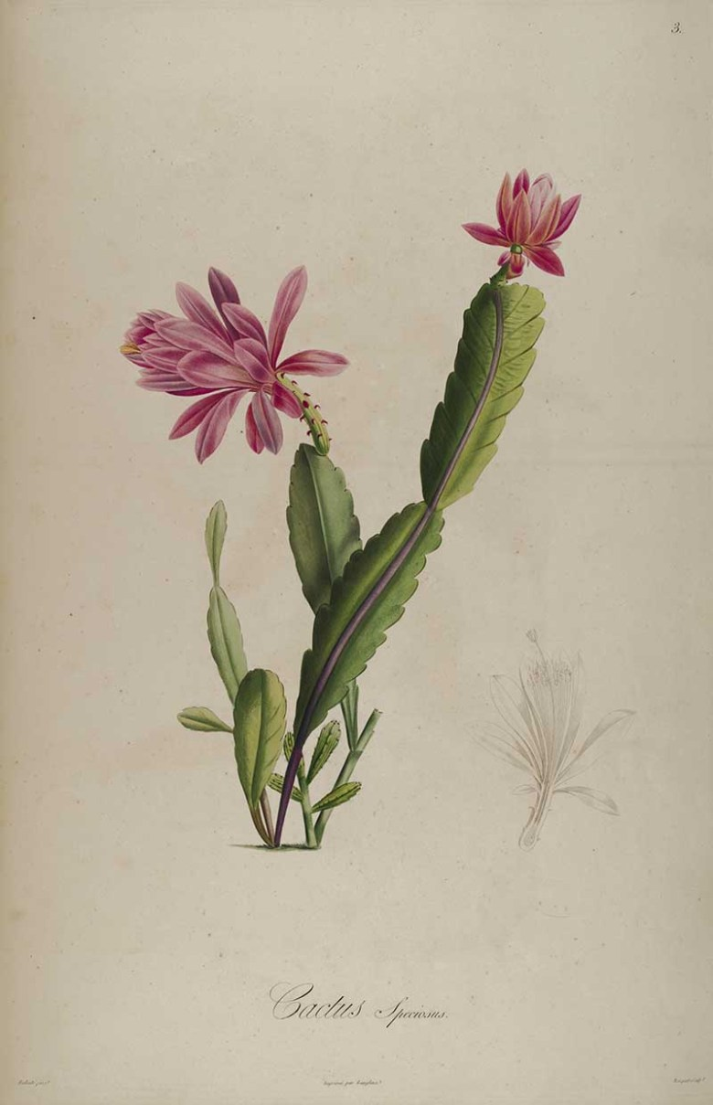 cactus speciosus 1813 Pierre Joseph Redoute