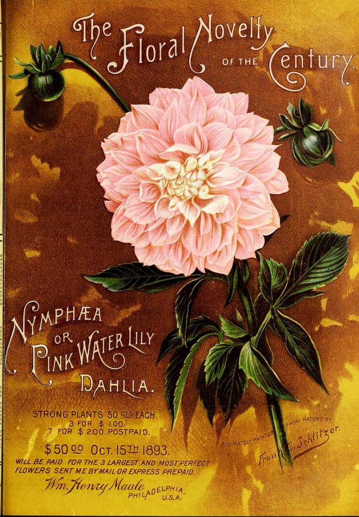 Pink Waterlily Dahlia seed packet