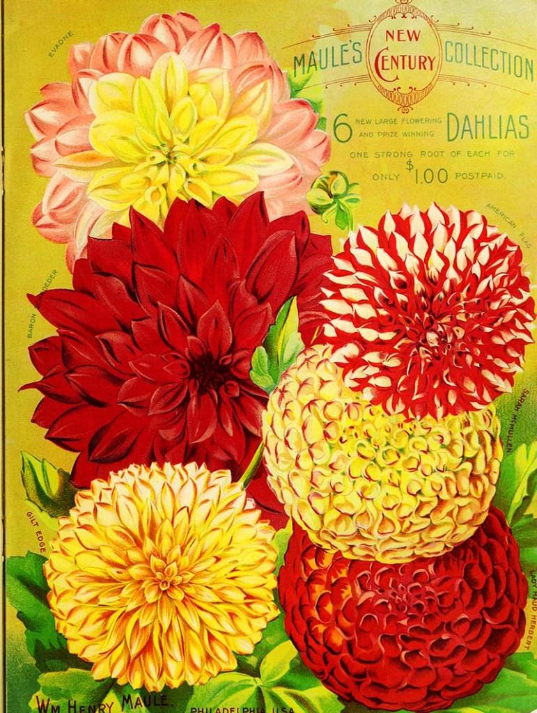 1900 Maule's Seed Catalog Dahlias