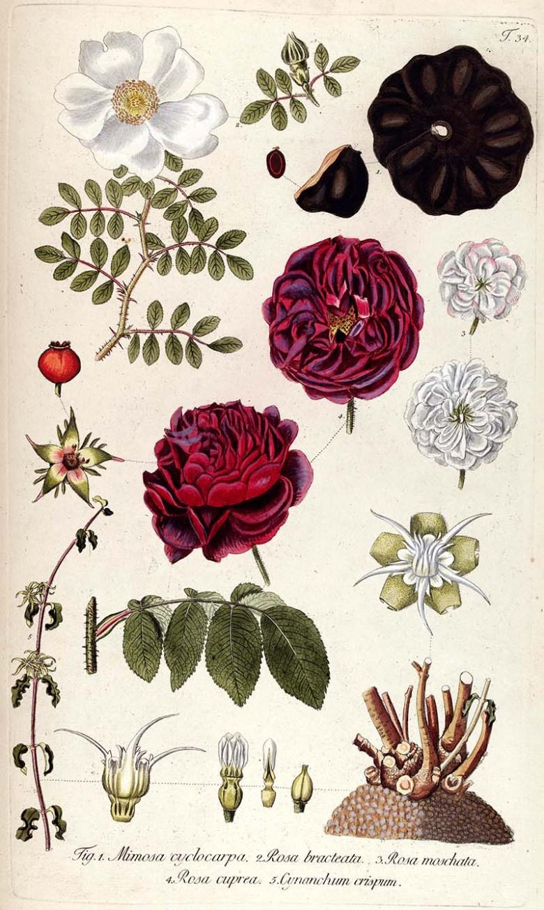 Botanical illustration of the fragments of a rose plant.