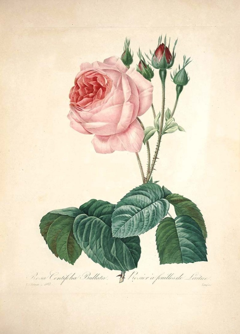 Free beautiful botanical rose prints to download including this cabbage rose.