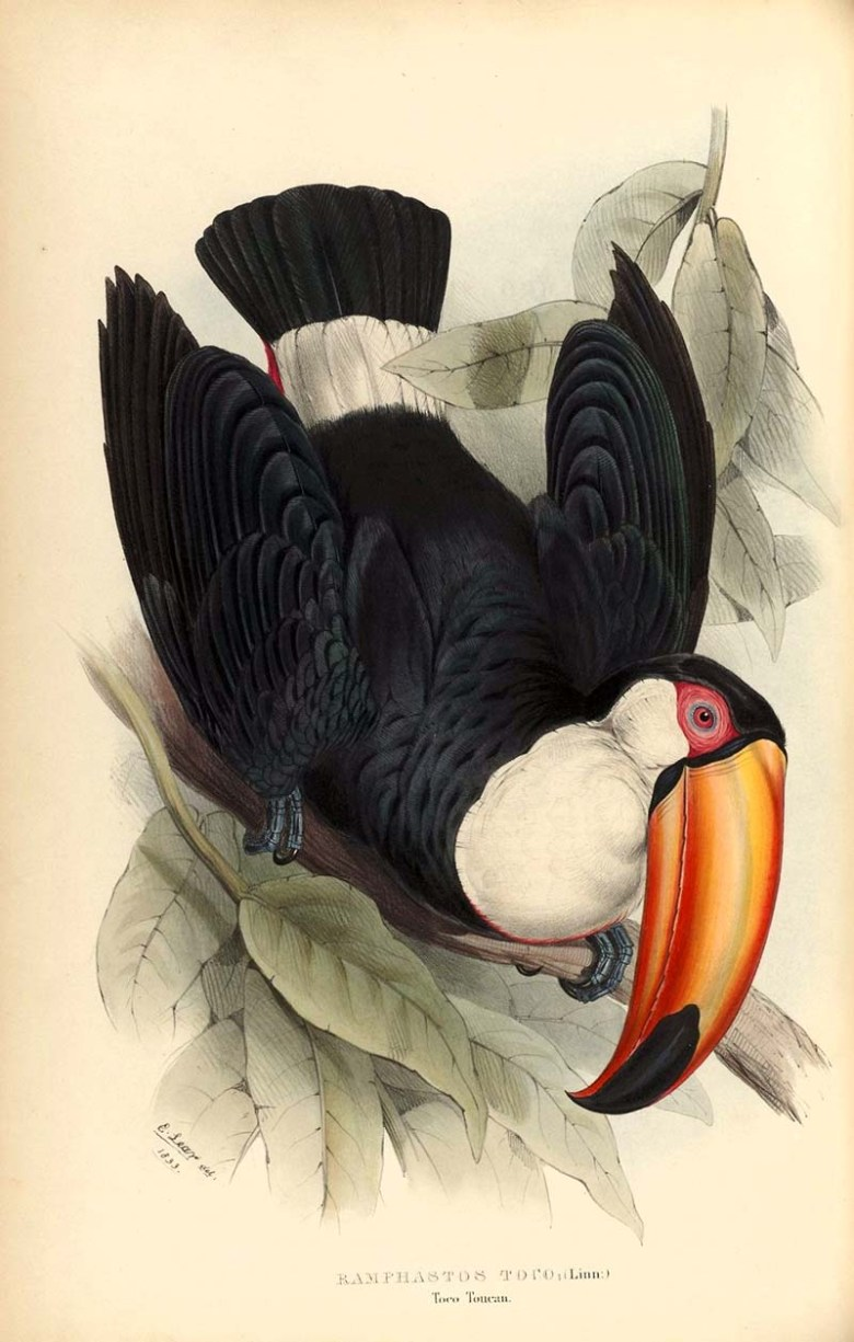 Toco Toucan from A monograph of the Ramphastidae: or family of toucans, 1834, by John Gould.  Part of collection of fabulous copyright free vintage touca paintings.