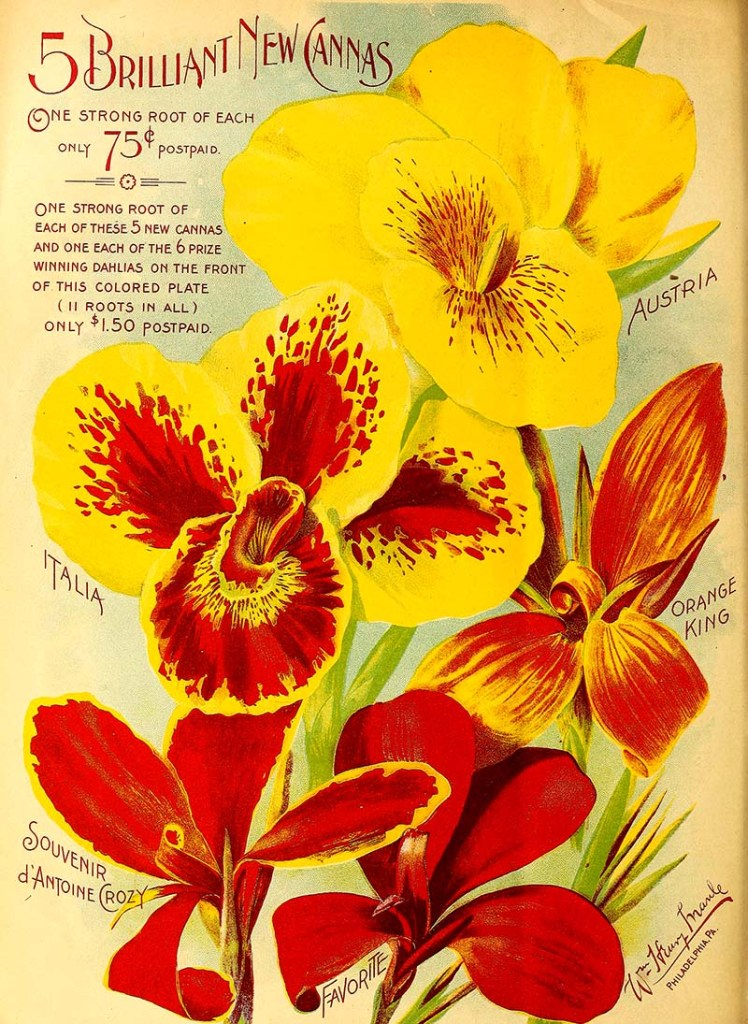 Yellow cannas seed packet
