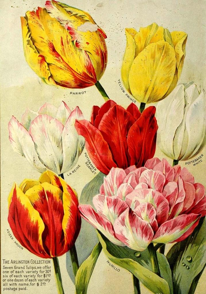 Tulips art