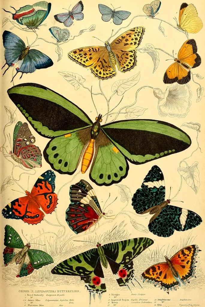 Imperial Trojan butterfly 1835