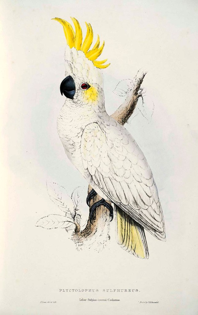 Lesser Sulphur Crested Cockatoo.  Free parrot paintings