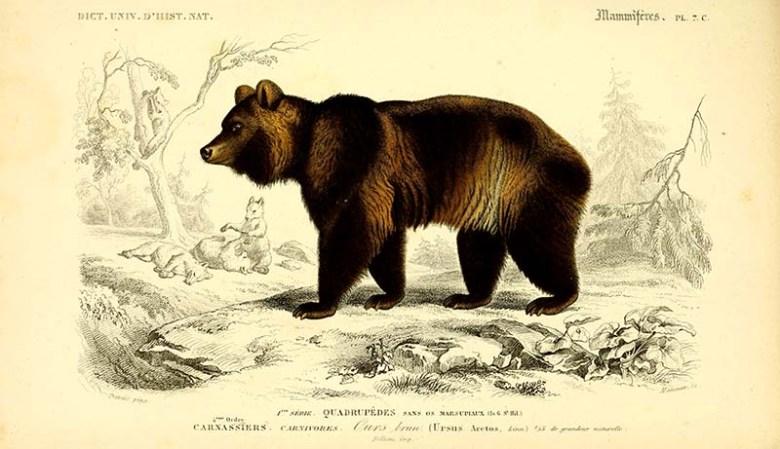 vintage animal prints Brown bear