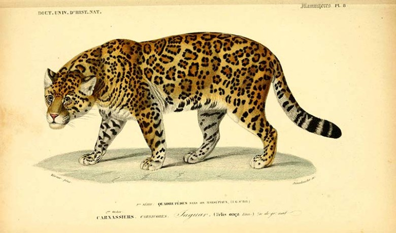 vintage animal prints Jaguar illustration