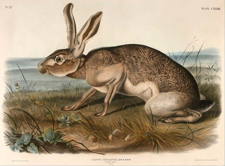 Texan Hare